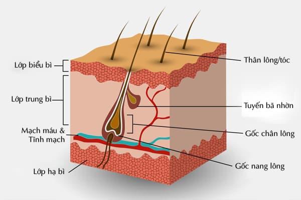 Cấu tạo góc chân lông trên bề mặt da